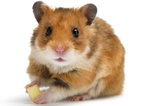 ukuran hamster