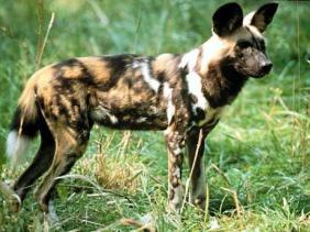 asal usul anjing, anjing afrika