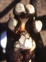 bantalan kaki keras, penyakit distemper pada anjing
